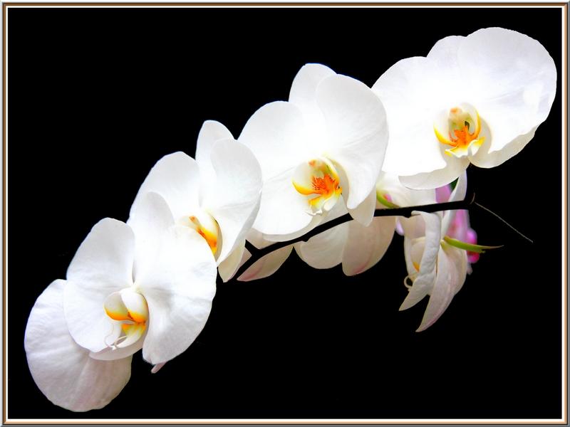 orchidee ol