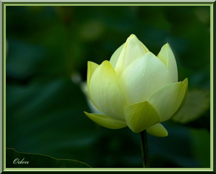 Lotus Blanc Odon Passion Photo