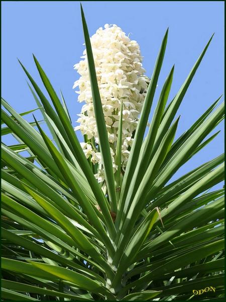 Fleur De Yucca Odon Passion Photo
