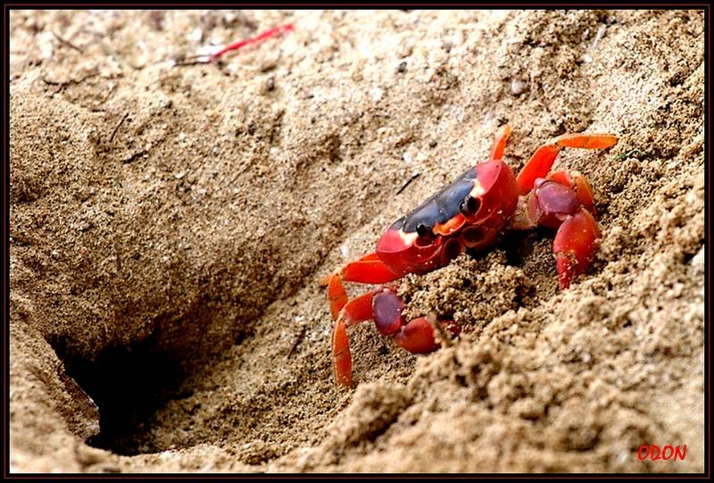 Crabe ewe - Page 2 070_Crabe_de_terre